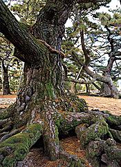 600年を超える樹齢の古木